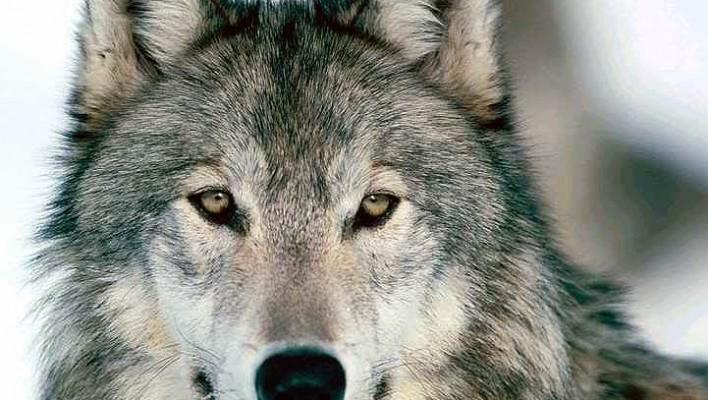 Om ulven i Danmark