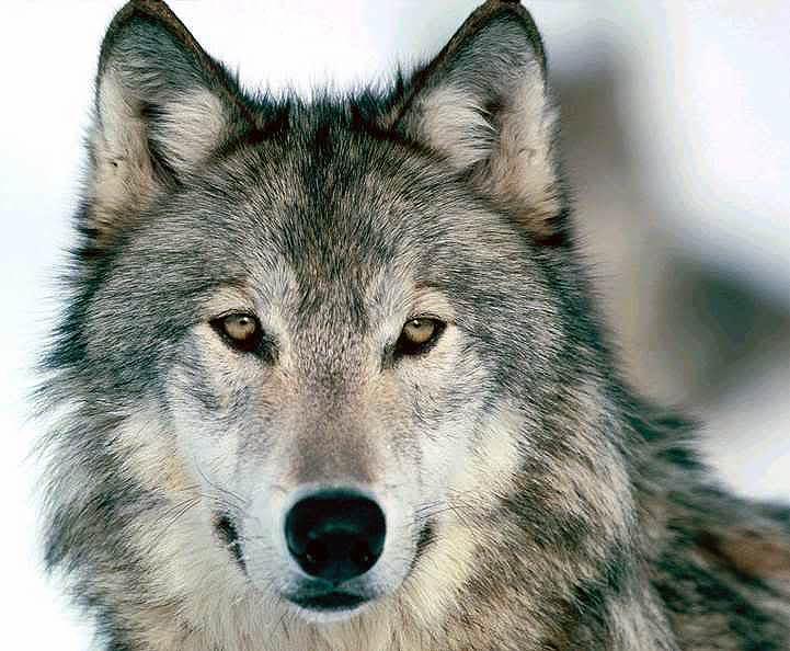 Den grå ulv er tilbage i Danmark.