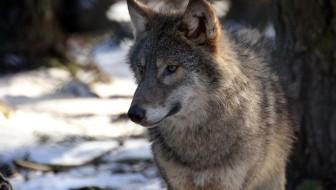 Ulven er vandret til Jylland.